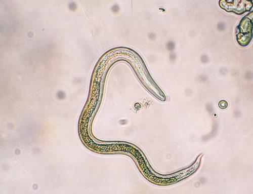 Vertreibung von Spulwürmern